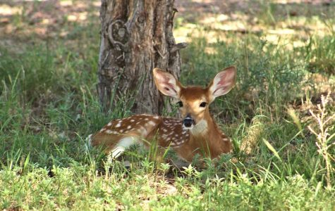 EHD Diminishes Deer Population